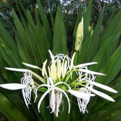 St. John's Lilly - Grand Crinum Asiaticum - 2 sprouted corms