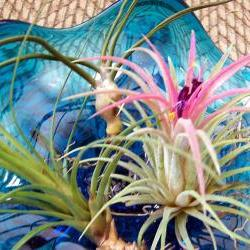 Three Tillandsia Plants - Different Varieties