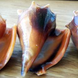 Three Florida Fighting Conch Shells